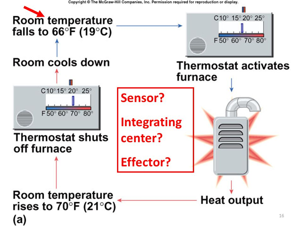 Sensor? Integrating center? Effector? 16