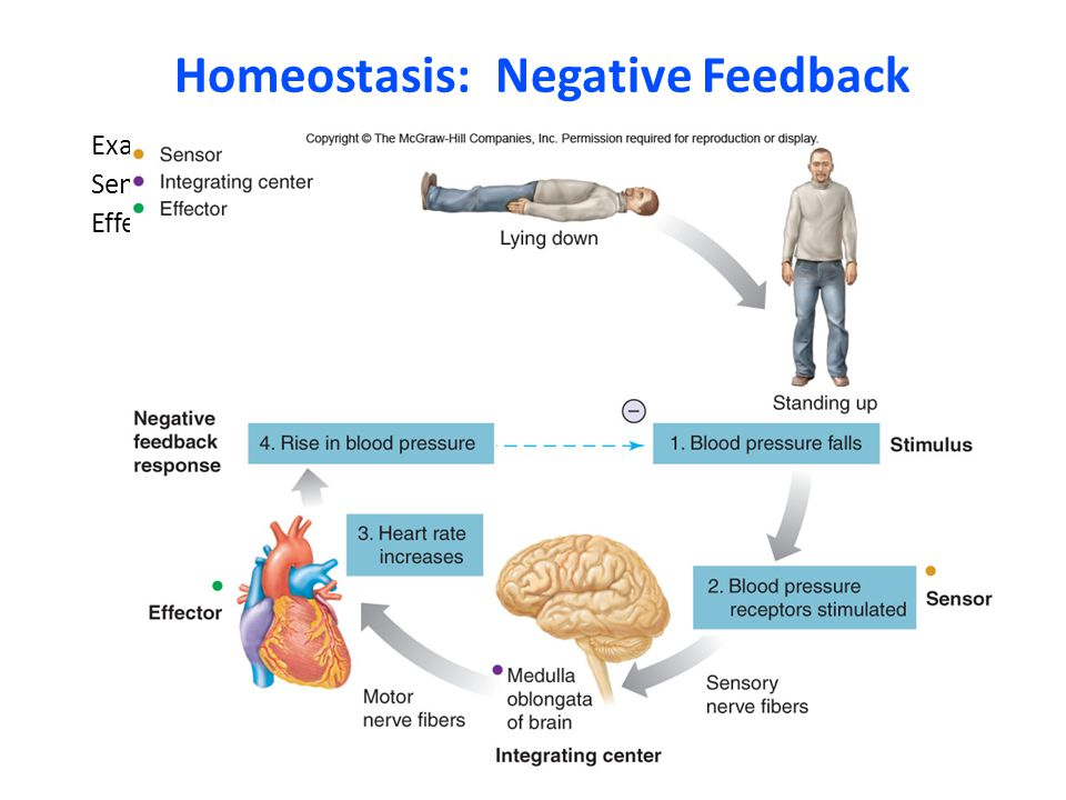 Homeostasis: Negative Feedback Example: kontrol tekanan darah Set point: tekanan darah normal Sensor: baroreceptorIntegration Center: Otak Effector: j