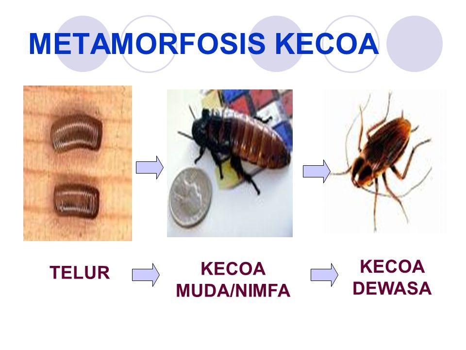 METAMORFOSIS KECOA KECOA DEWASA TELUR KECOA MUDA/NIMFA