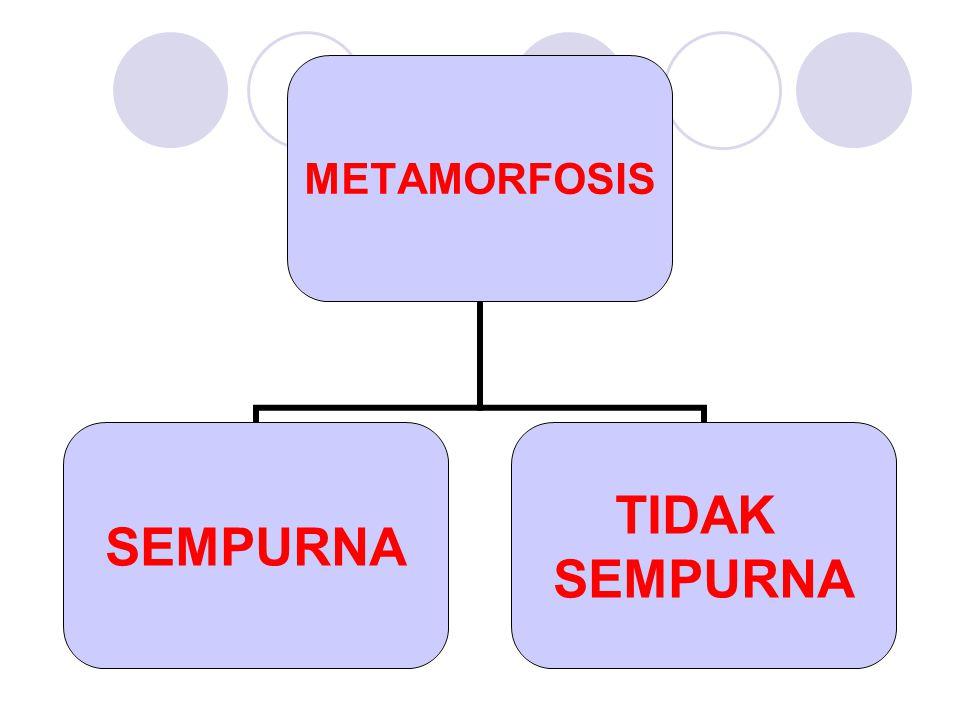 METAMORFOSIS SEMPURNA TIDAK SEMPURNA