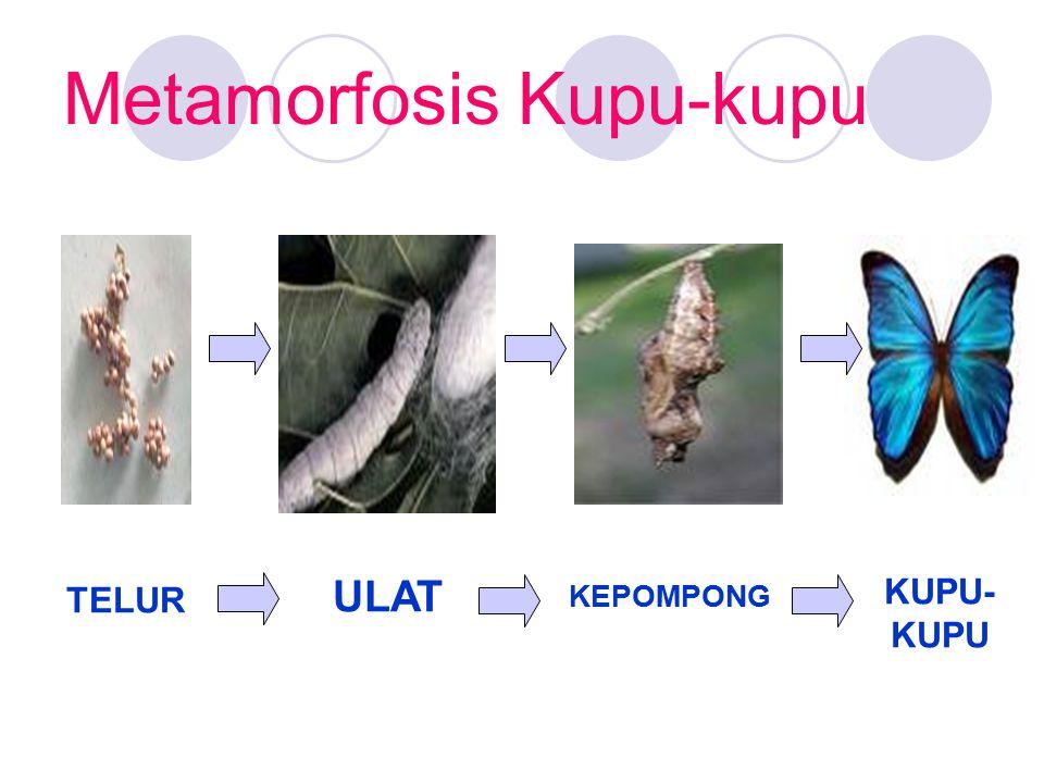 Metamorfosis Kupu-kupu TELUR ULAT KEPOMPONG KUPU- KUPU