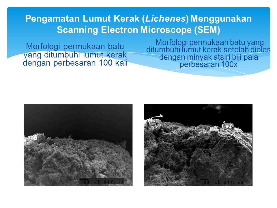Pengamatan Lumut Kerak (Lichenes) Menggunakan Scanning Electron Microscope (SEM) Morfologi permukaan batu yang ditumbuhi lumut kerak dengan perbesaran