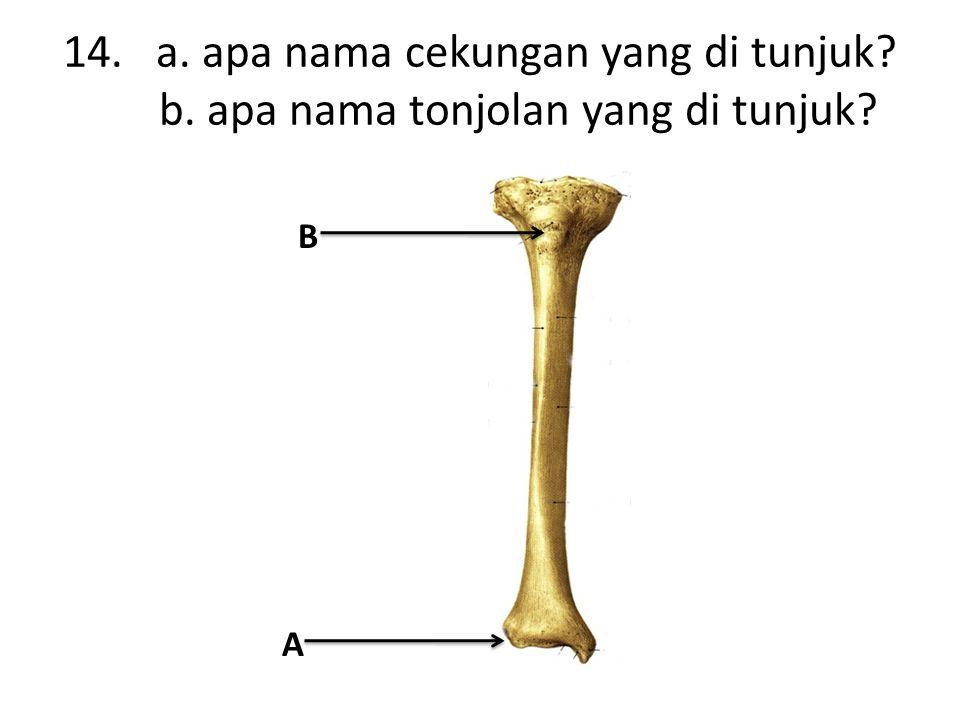 14. a. apa nama cekungan yang di tunjuk b. apa nama tonjolan yang di tunjuk A B