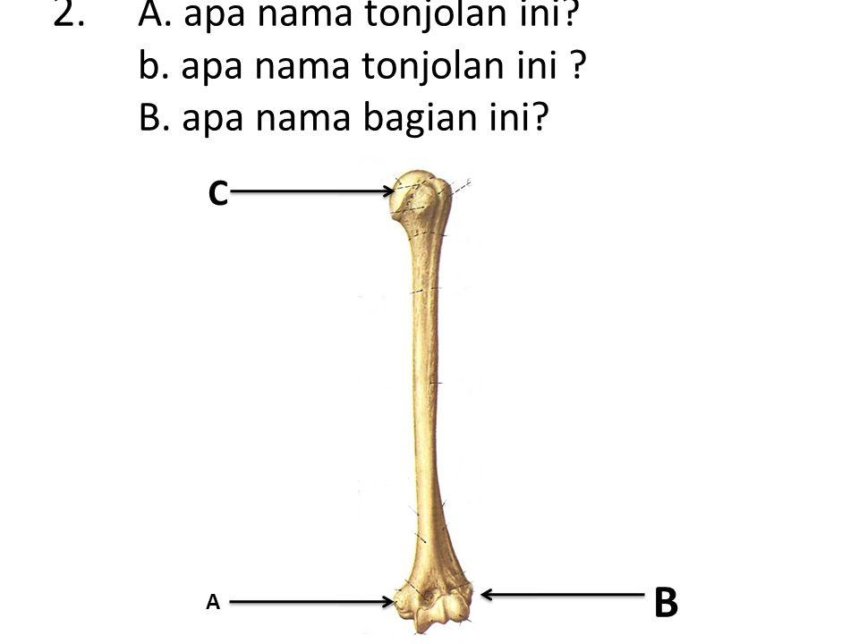 2.A. apa nama tonjolan ini b. apa nama tonjolan ini B. apa nama bagian ini B A C