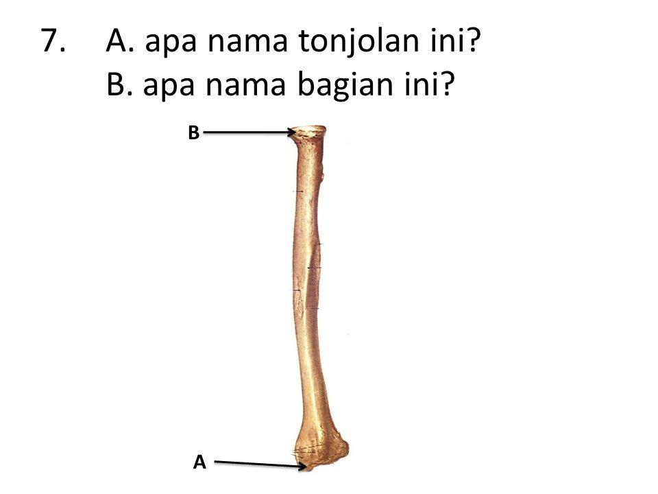 8.A. apa nama tulang ini secara keseluruhan? B. apa nama tulang ini? A B