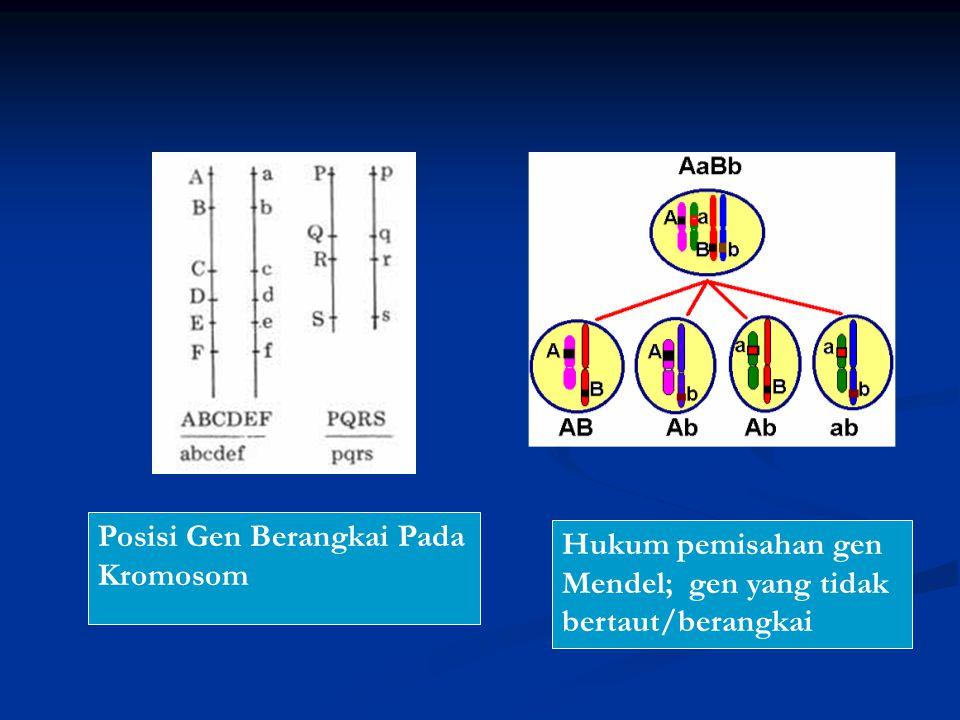 Posisi Gen Berangkai Pada Kromosom Hukum pemisahan gen Mendel; gen yang tidak bertaut/berangkai