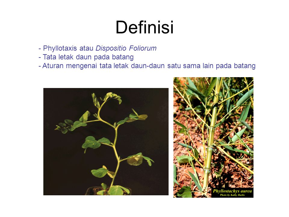 Definisi - Phyllotaxis atau Dispositio Foliorum - Tata letak daun pada batang - Aturan mengenai tata letak daun-daun satu sama lain pada batang
