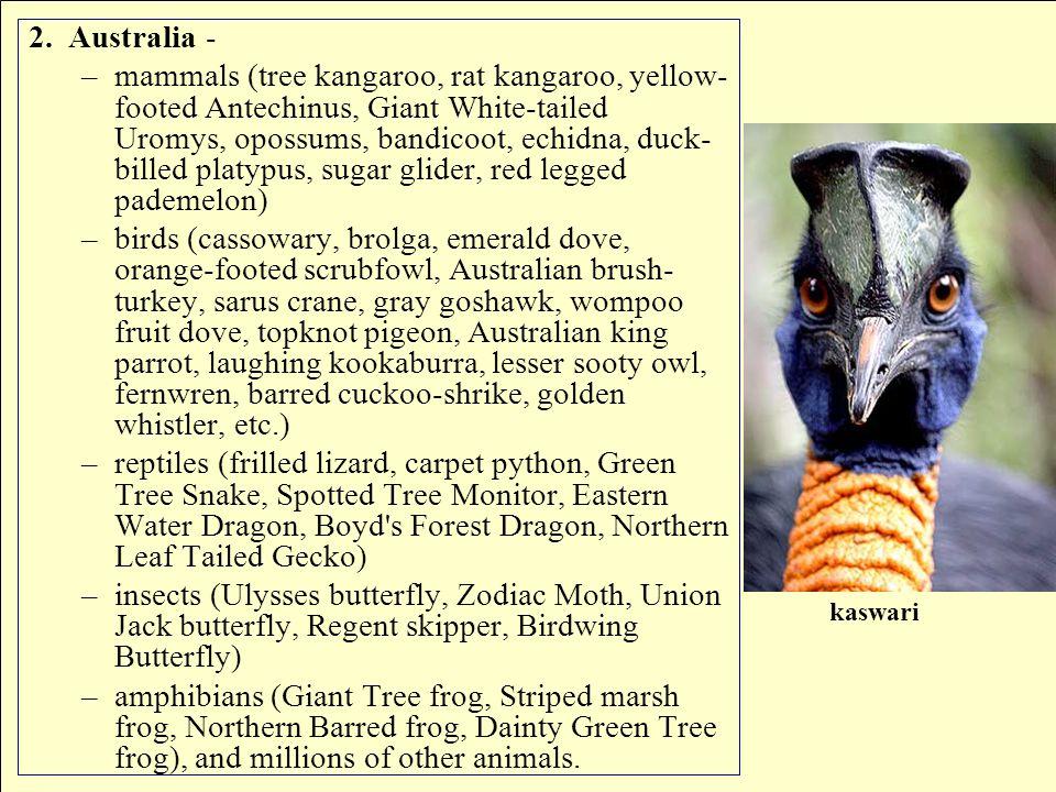 2.Australia - –mammals (tree kangaroo, rat kangaroo, yellow- footed Antechinus, Giant White-tailed Uromys, opossums, bandicoot, echidna, duck- billed