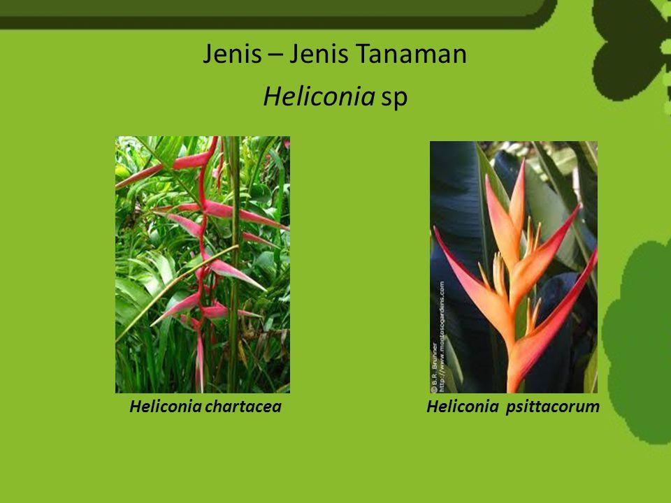 Jenis – Jenis Tanaman Heliconia sp Heliconia chartacea Heliconia psittacorum