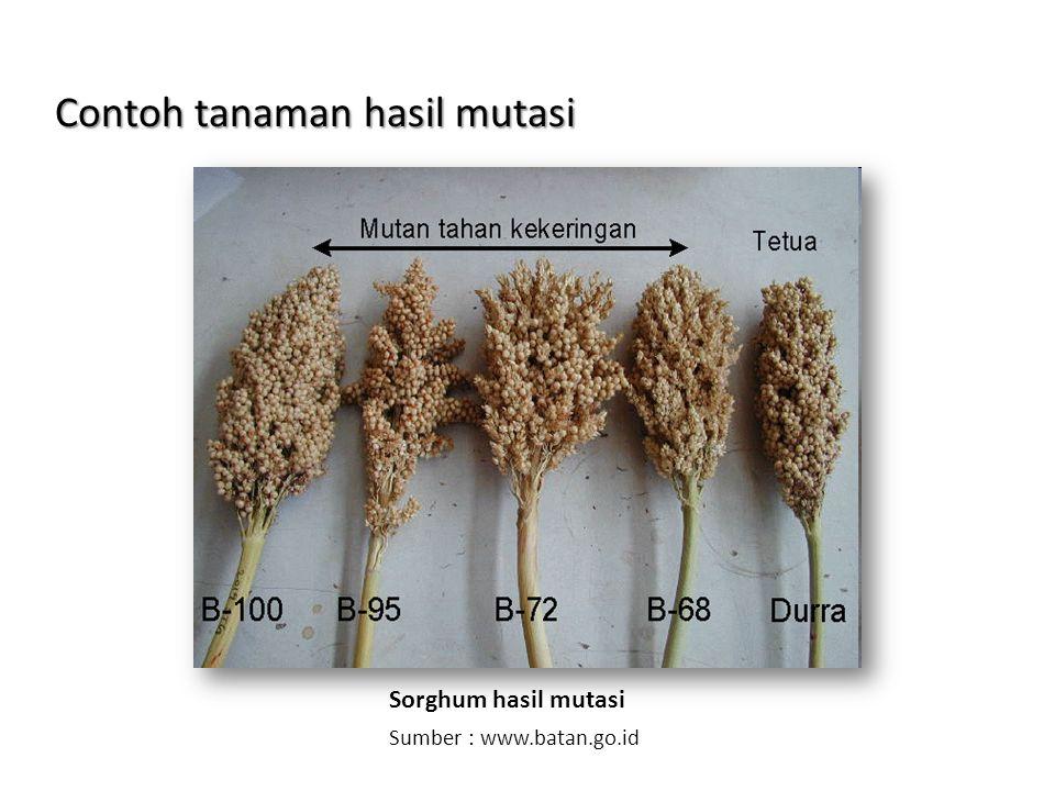 Contoh tanaman hasil mutasi Sorghum hasil mutasi Sumber : www.batan.go.id