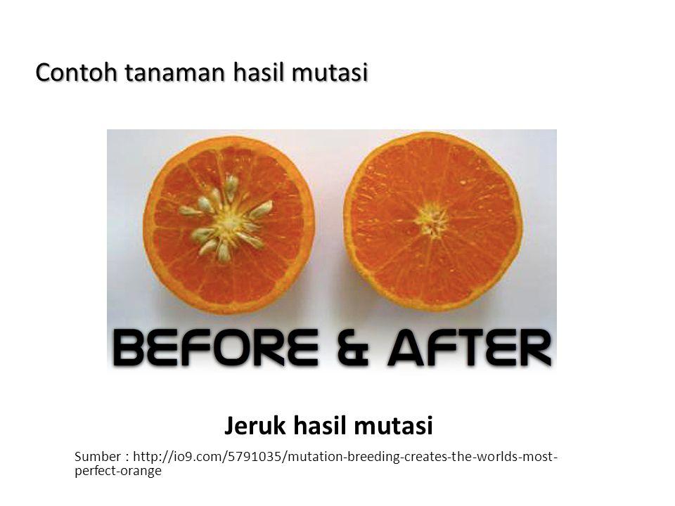 Contoh tanaman hasil mutasi Jeruk hasil mutasi Sumber : http://io9.com/5791035/mutation-breeding-creates-the-worlds-most- perfect-orange
