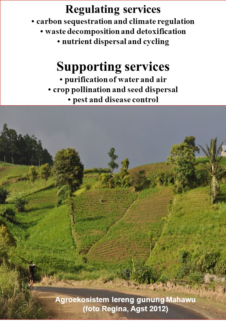 Regulating services carbon sequestration and climate regulation waste decomposition and detoxification nutrient dispersal and cycling Supporting services purification of water and air crop pollination and seed dispersal pest and disease control Agroekosistem lereng gunung Mahawu (foto Regina, Agst 2012)