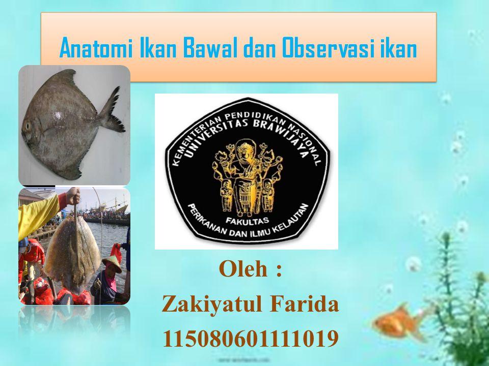 Anatomi Ikan Bawal dan Observasi ikan Oleh : Zakiyatul Farida 115080601111019