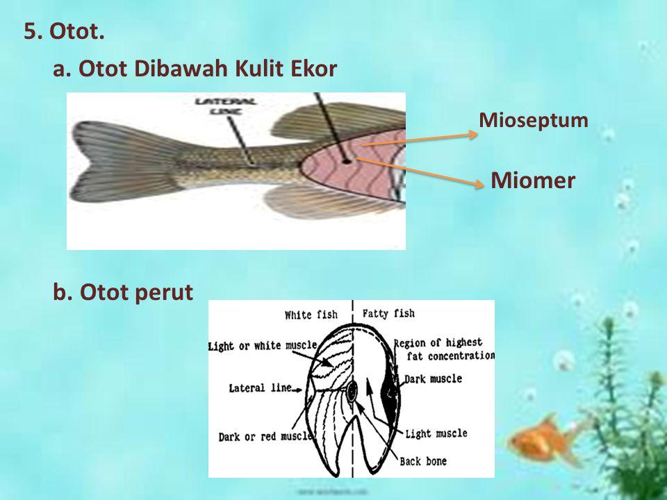 Mioseptum 5. Otot. a. Otot Dibawah Kulit Ekor Miomer b. Otot perut
