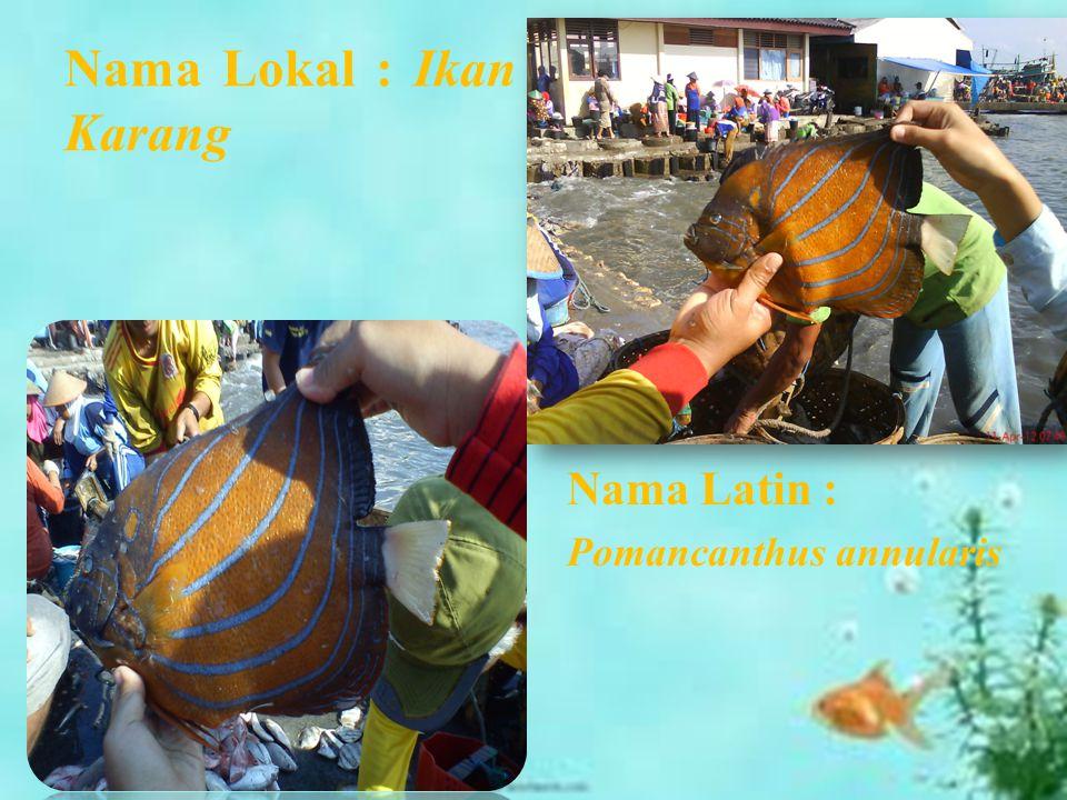 Nama Lokal : Ikan Karang Nama Latin : Pomancanthus annularis
