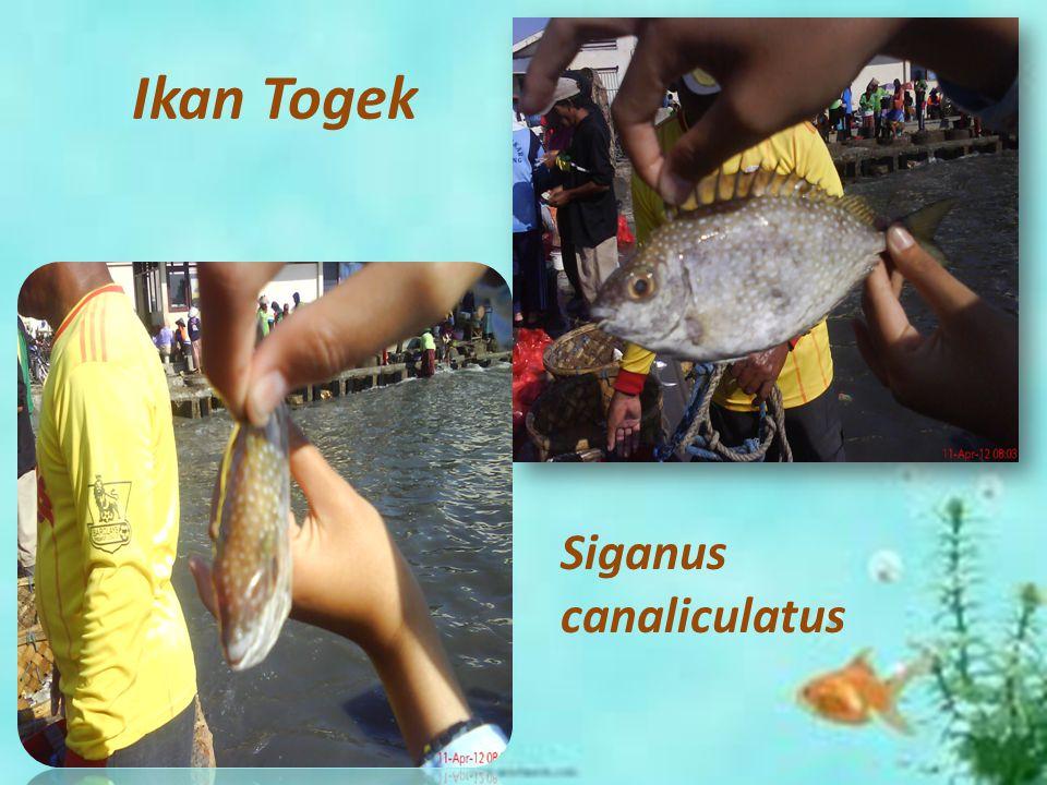 Ikan Togek Siganus canaliculatus