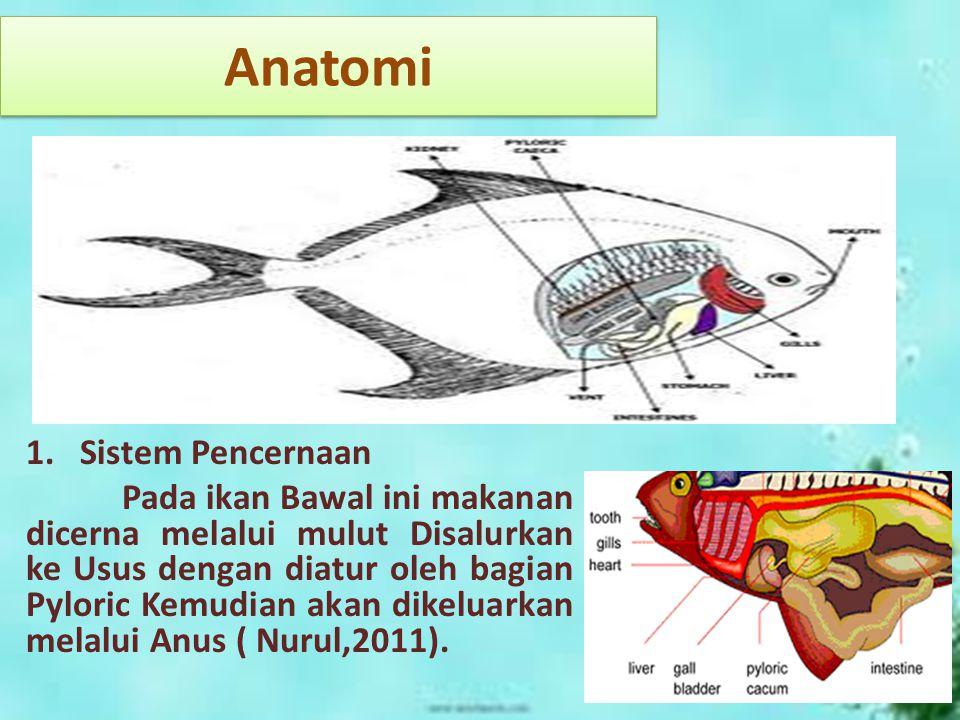 Anatomi 1.Sistem Pencernaan Pada ikan Bawal ini makanan dicerna melalui mulut Disalurkan ke Usus dengan diatur oleh bagian Pyloric Kemudian akan dikel