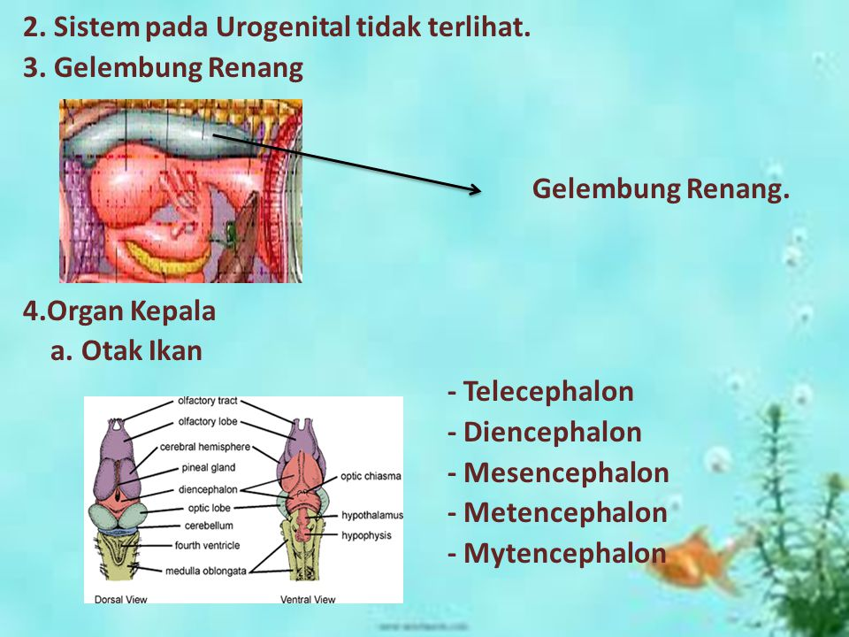 2. Sistem pada Urogenital tidak terlihat. 3. Gelembung Renang Gelembung Renang. 4.Organ Kepala a. Otak Ikan - Telecephalon - Diencephalon - Mesencepha