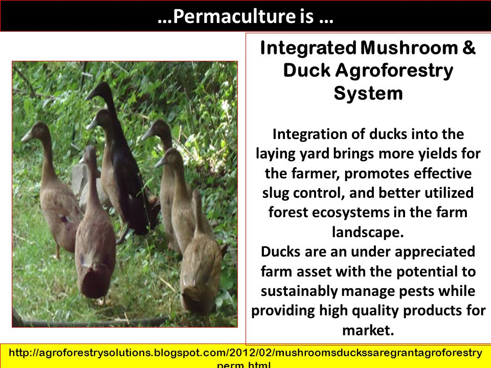 …Permaculture is … http://agroforestrysolutions.blogspot.com/2012/02/mushroomsduckssaregrantagroforestry perm.html. Integrated Mushroom & Duck Agrofor