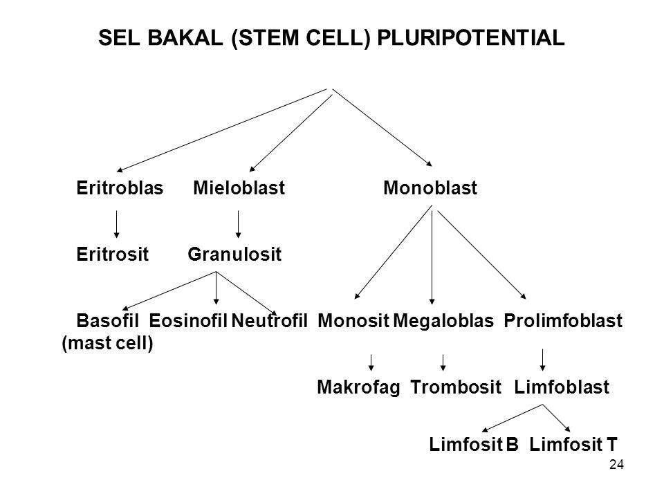 24 SEL BAKAL (STEM CELL) PLURIPOTENTIAL Eritroblas MieloblastMonoblast Eritrosit Granulosit Basofil Eosinofil Neutrofil Monosit Megaloblas Prolimfobla