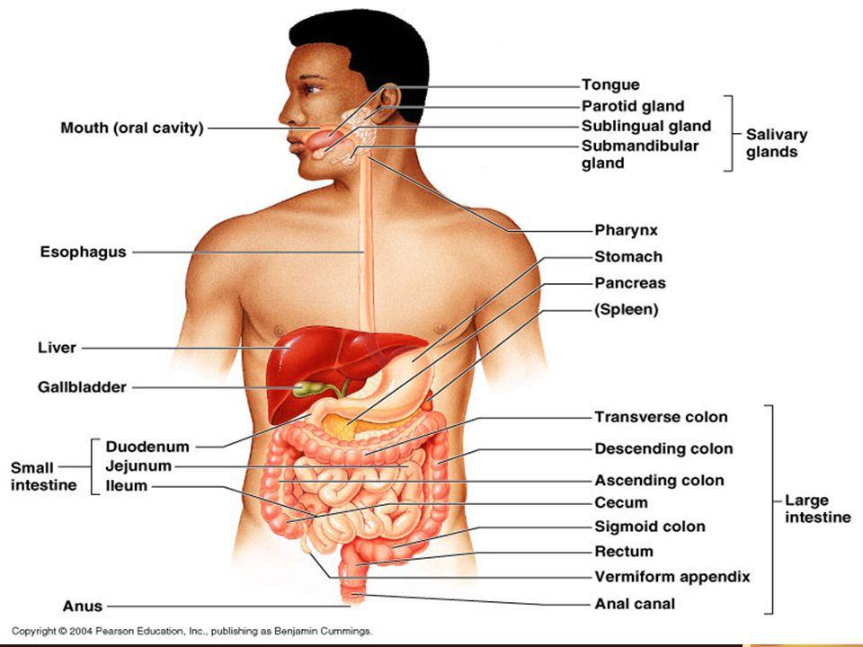 USUS BESAR / COLON Panjang ± 1.5 m, berjalan dari katup ileokolik (tempat sisa makanan lewat) Panjang ± 1.5 m, berjalan dari katup ileokolik (tempat sisa makanan lewat) Terdapat appendix vermiformis  terdiri dari 4 lapis  fungsi = tonsil  terletak dibawah dan dibelakang sekum Terdapat appendix vermiformis  terdiri dari 4 lapis  fungsi = tonsil  terletak dibawah dan dibelakang sekum Sekum terletak di daerah illiaka kanan dan menempel pada m.illiopsoas Sekum terletak di daerah illiaka kanan dan menempel pada m.illiopsoas
