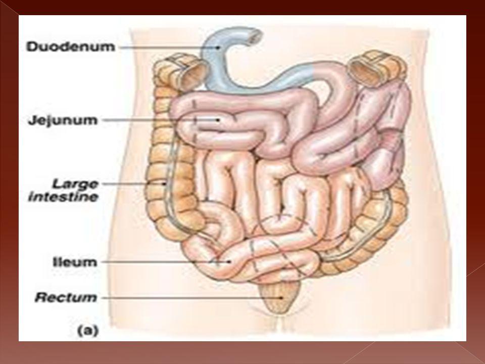  Merupakan usus yang memiliki diameter lebih besar dari usus halus.