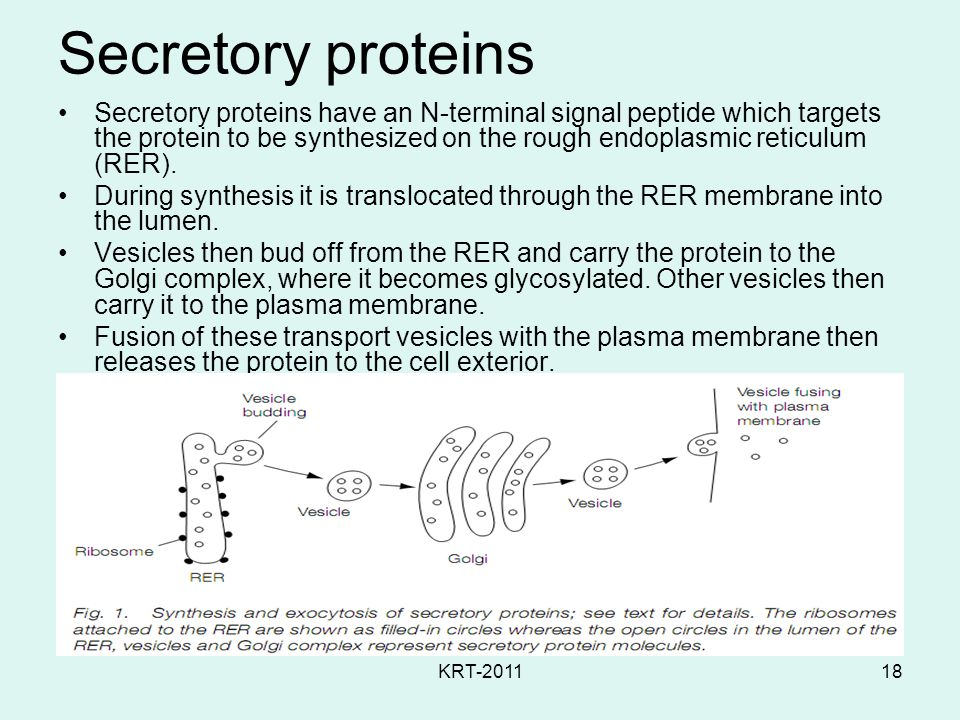 KRT-201118 Secretory proteins Secretory proteins have an N-terminal signal peptide which targets the protein to be synthesized on the rough endoplasmic reticulum (RER).