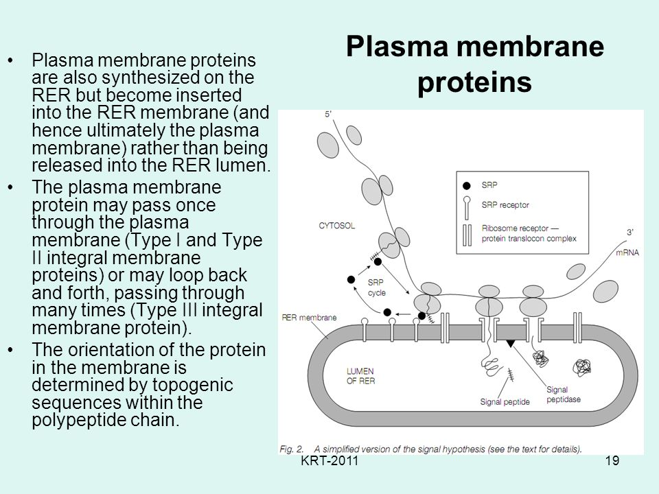 KRT-201119 Plasma membrane proteins Plasma membrane proteins are also synthesized on the RER but become inserted into the RER membrane (and hence ultimately the plasma membrane) rather than being released into the RER lumen.