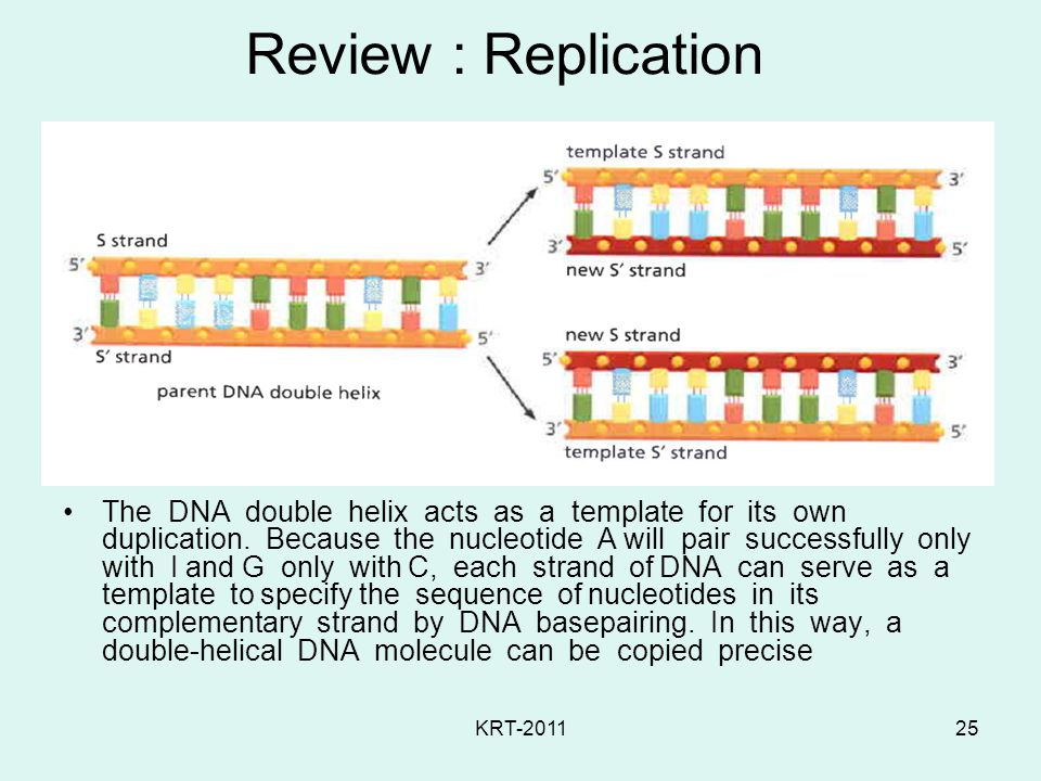 KRT-201125 Review : Replication The DNA double helix acts as a template for its own duplication.