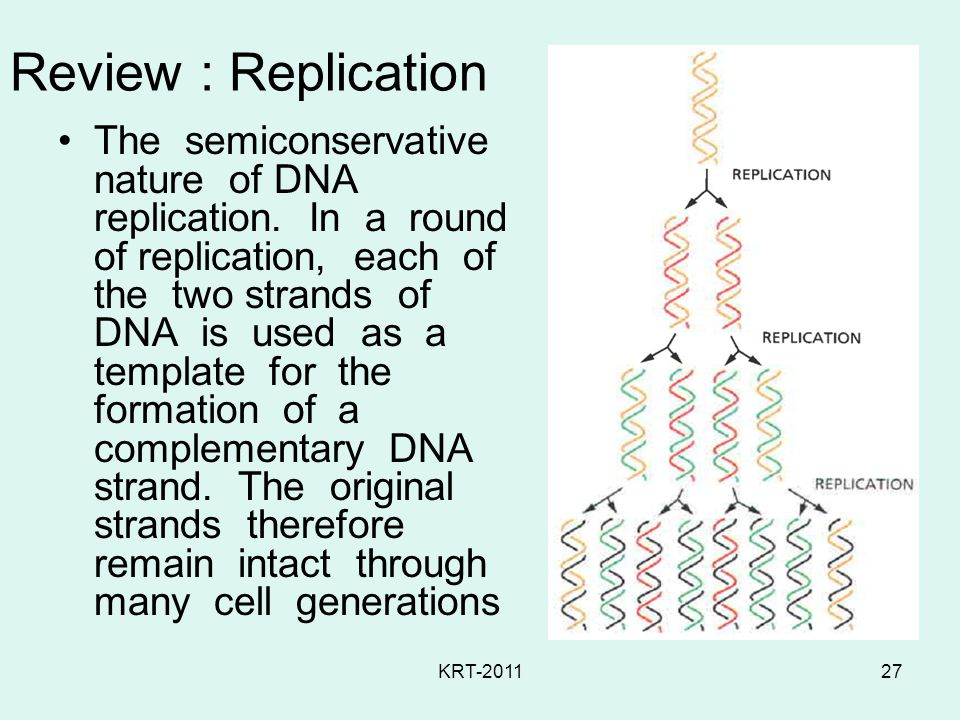 KRT-201127 Review : Replication The semiconservative nature of DNA replication.