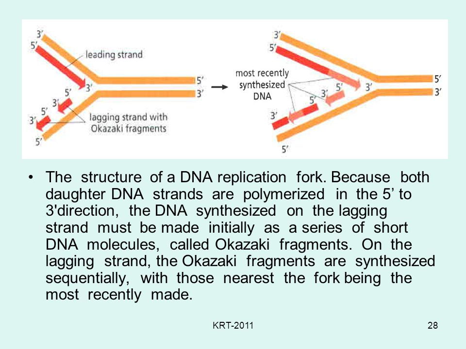 KRT-201128 The structure of a DNA replication fork.