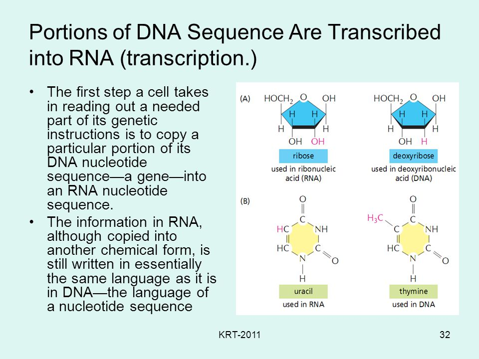 KRT-201132 Portions of DNA Sequence Are Transcribed into RNA (transcription.) The first step a cell takes in reading out a needed part of its genetic instructions is to copy a particular portion of its DNA nucleotide sequence—a gene—into an RNA nucleotide sequence.