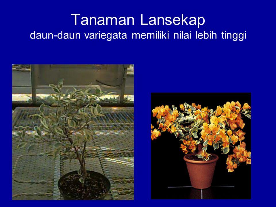 Tanaman Lansekap daun-daun variegata memiliki nilai lebih tinggi