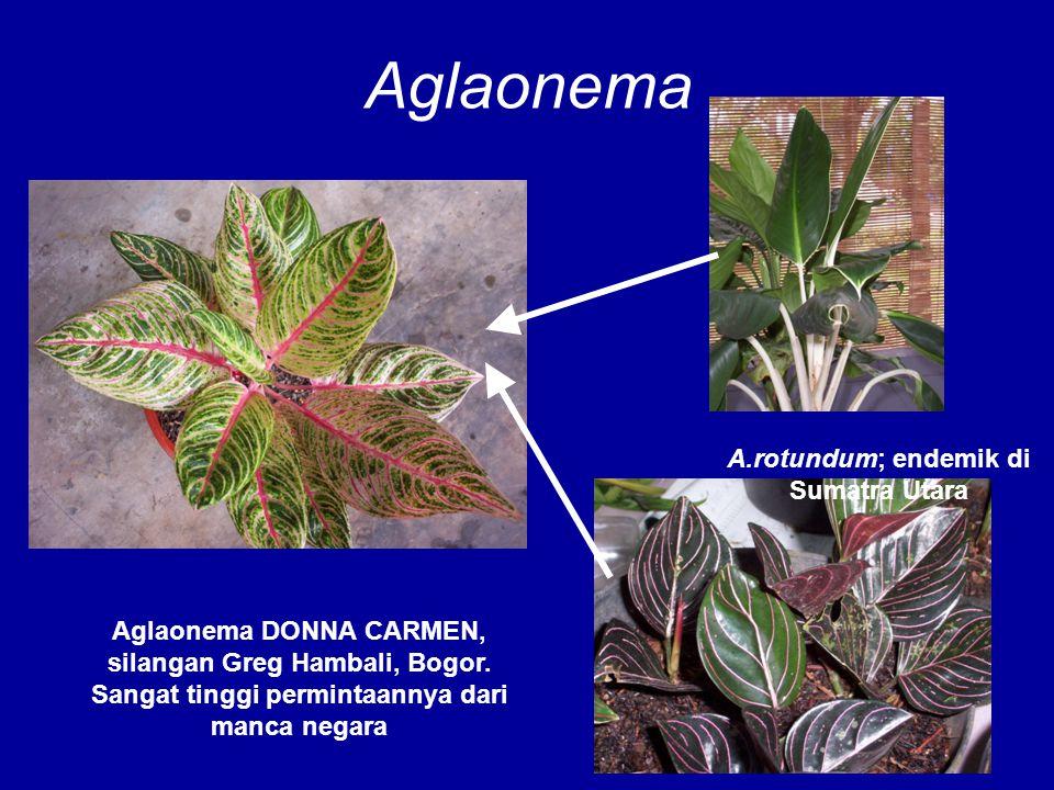 Aglaonema Aglaonema DONNA CARMEN, silangan Greg Hambali, Bogor. Sangat tinggi permintaannya dari manca negara A.rotundum; endemik di Sumatra Utara