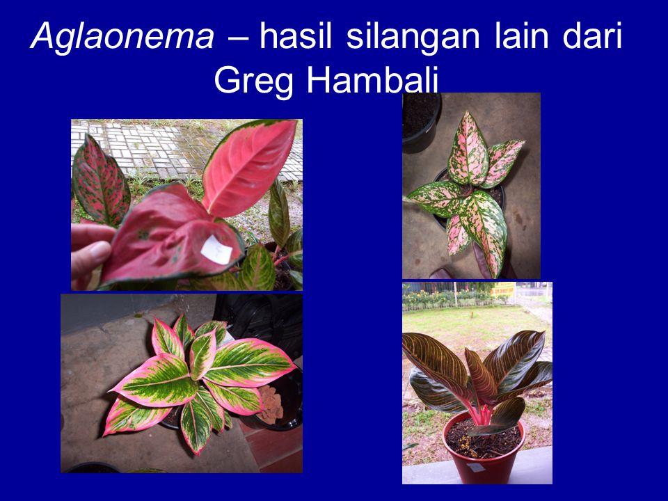 Aglaonema – hasil silangan lain dari Greg Hambali