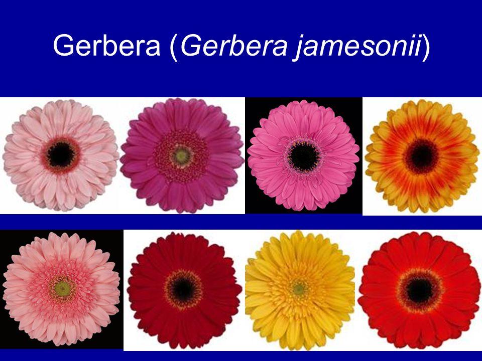 Gerbera (Gerbera jamesonii)