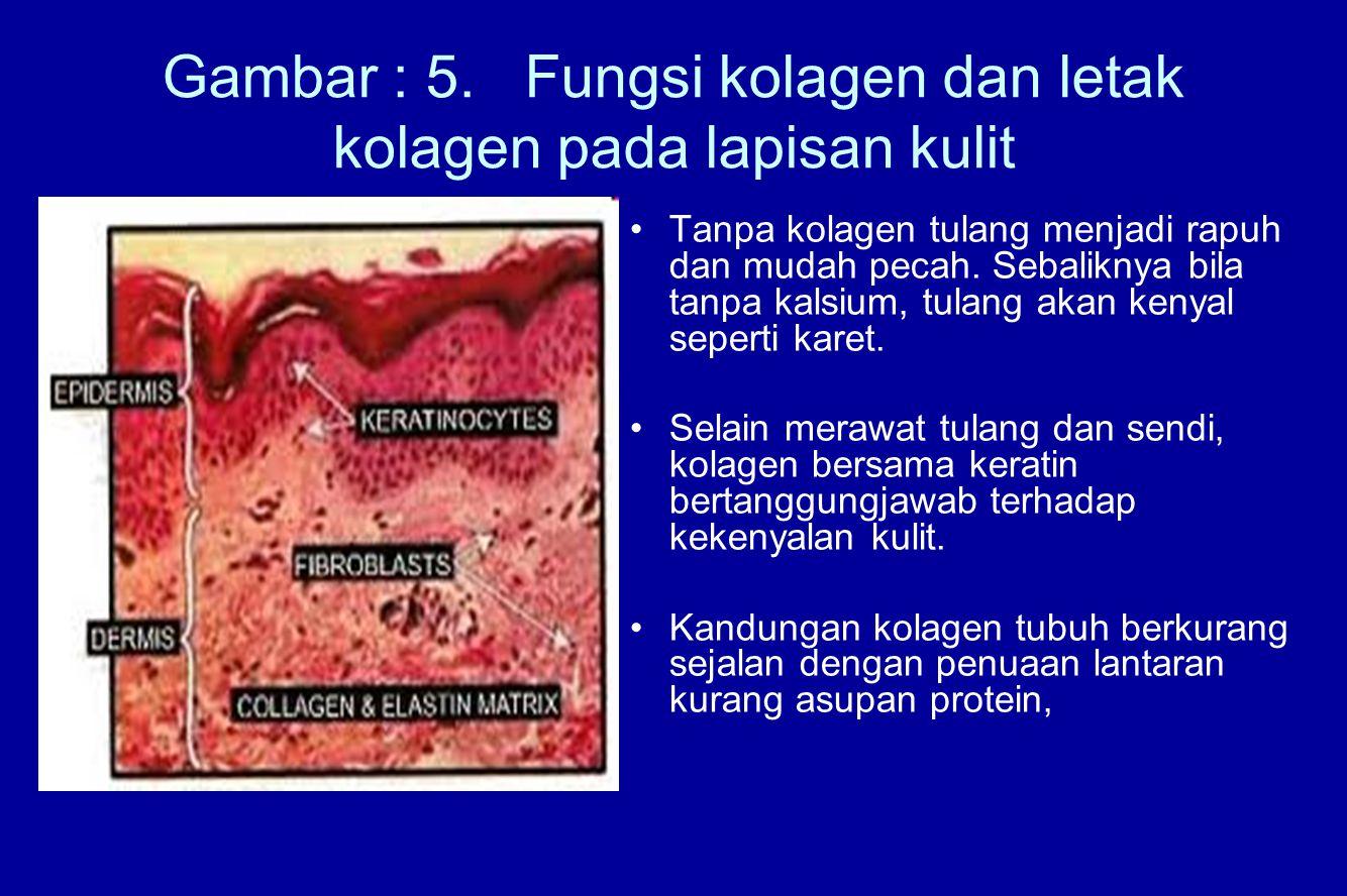 Gambar : 5. Fungsi kolagen dan letak kolagen pada lapisan kulit Tanpa kolagen tulang menjadi rapuh dan mudah pecah. Sebaliknya bila tanpa kalsium, tul
