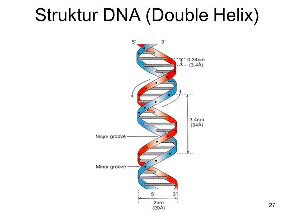 27 Struktur DNA (Double Helix)