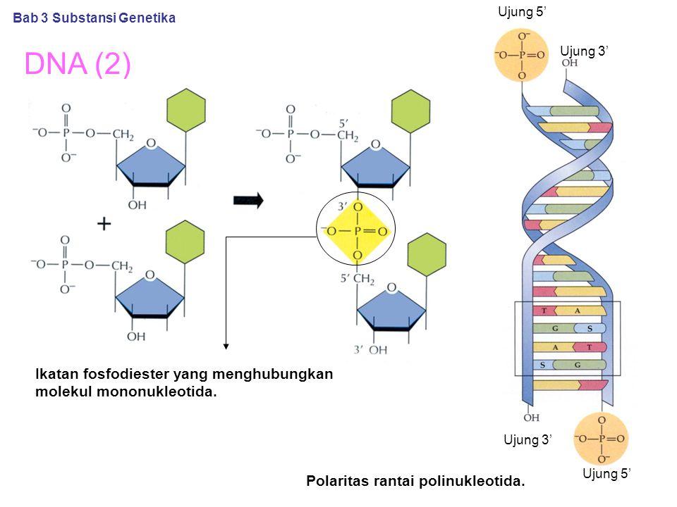 DNA (2) Ikatan fosfodiester yang menghubungkan molekul mononukleotida. Polaritas rantai polinukleotida. Bab 3 Substansi Genetika Ujung 5' Ujung 3' Uju