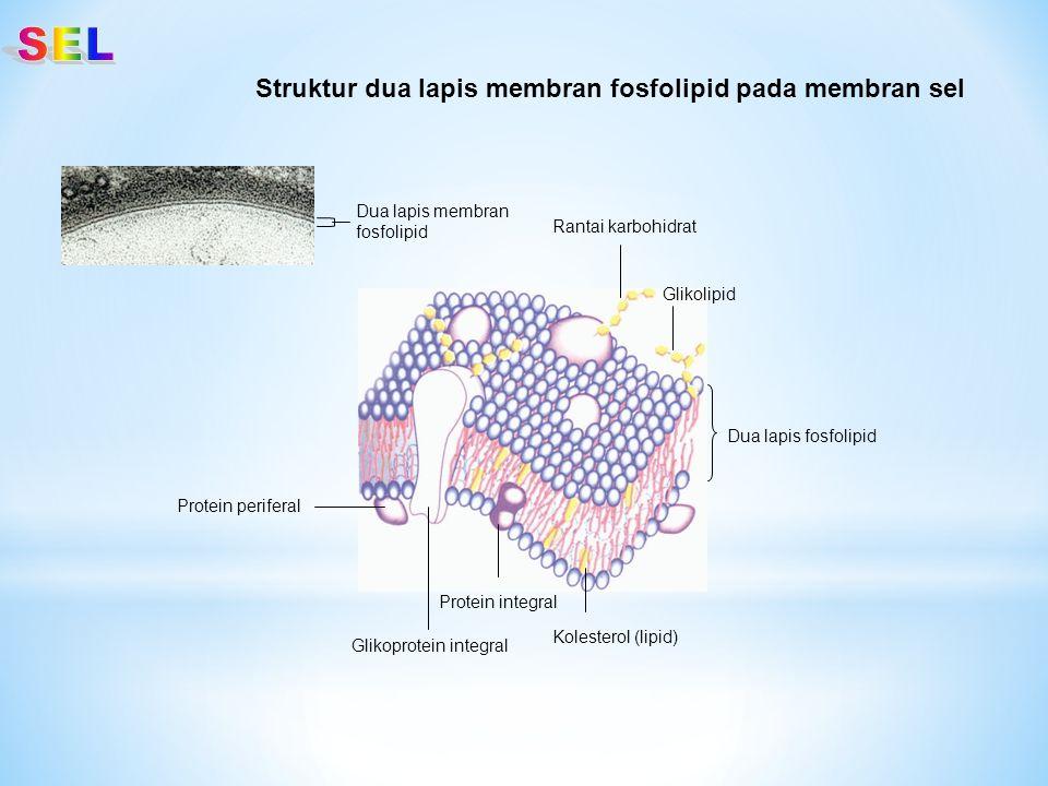 Struktur dua lapis membran fosfolipid pada membran sel Dua lapis fosfolipid Rantai karbohidrat Glikolipid Kolesterol (lipid) Protein integral Glikopro