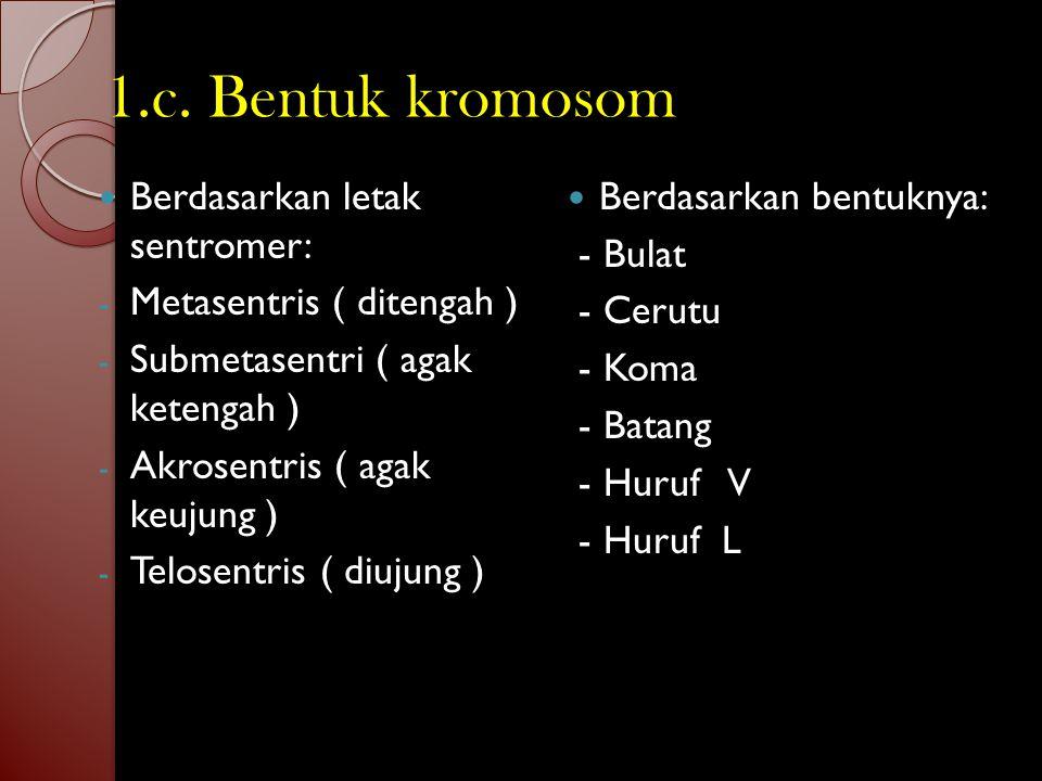 1.b. Ukuran kromosom Panjang ± 0,2 µm – 50 µm. Diameter ± 0,2 µm – 20 µm. Kromosom manusia panjangnya ± 6 µm. Kromosom lalat buah 100 x ukuran kromoso