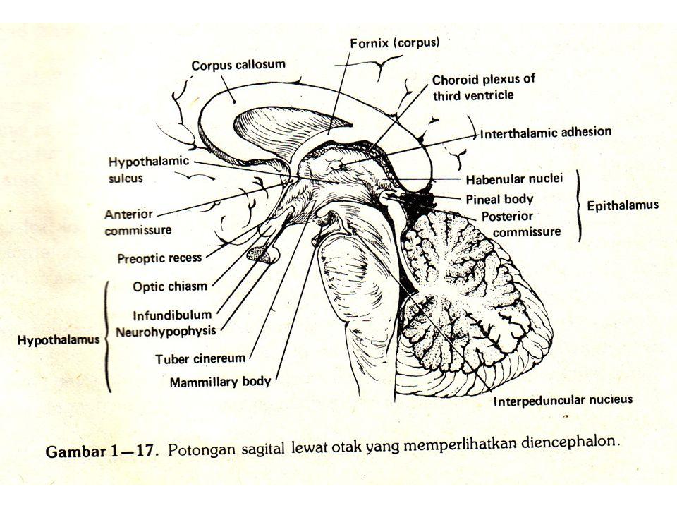 Mesensefalon A.Korpus quadrigeminus : 1.Kolikulus superior 2.Kolikulus inferior B.Tegmentum 1.Nukleus ruber 2.Substansia nigra C.Pedunkulus serebri