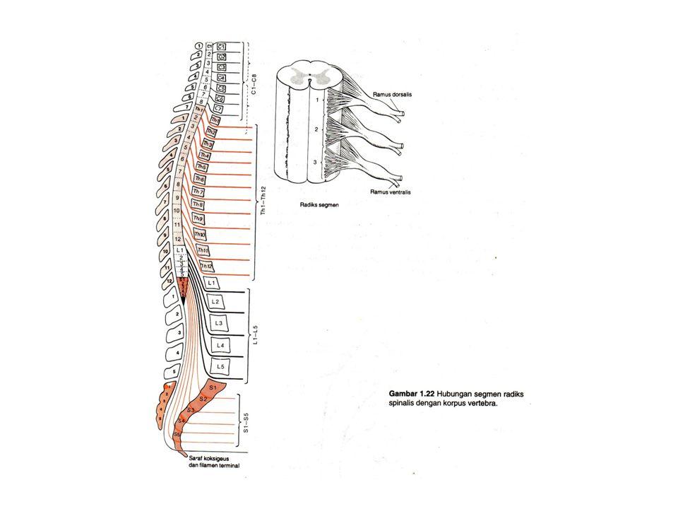 Susunan saraf perifer Secara anatomis dibagi menjadi : –12 pasang saraf kranial –31 pasang saraf spinal
