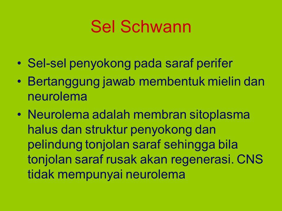 Sel Schwann Sel-sel penyokong pada saraf perifer Bertanggung jawab membentuk mielin dan neurolema Neurolema adalah membran sitoplasma halus dan strukt