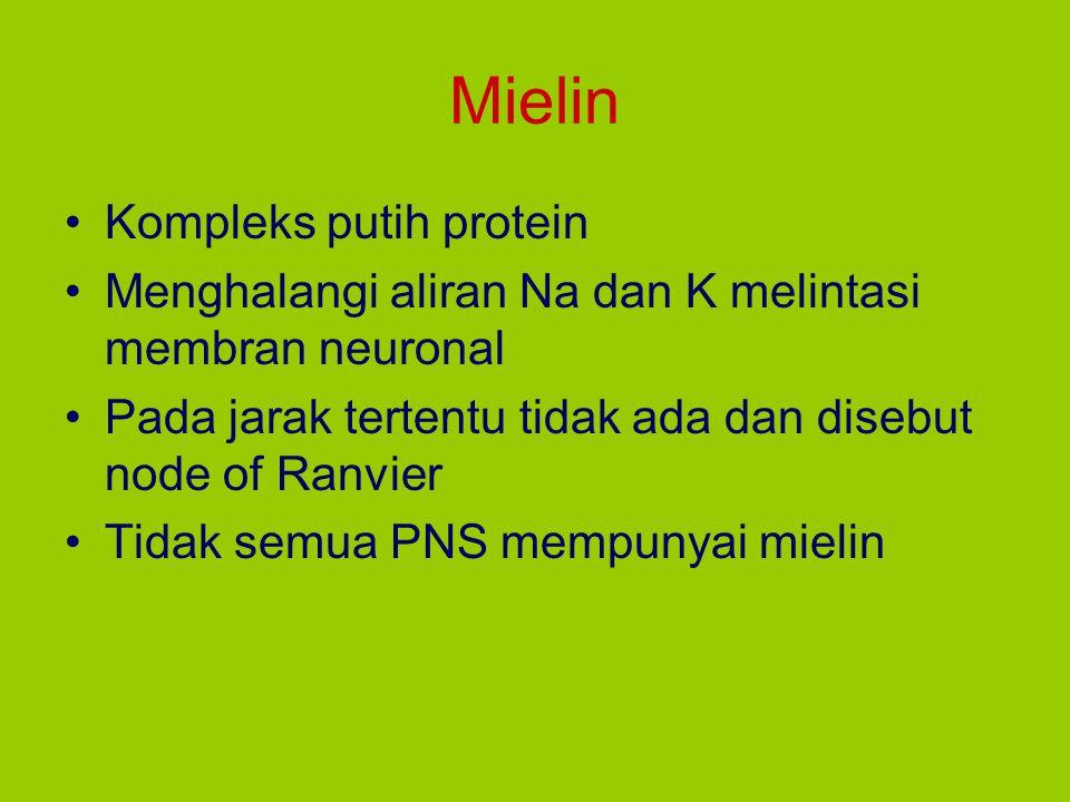 Mielin Kompleks putih protein Menghalangi aliran Na dan K melintasi membran neuronal Pada jarak tertentu tidak ada dan disebut node of Ranvier Tidak s