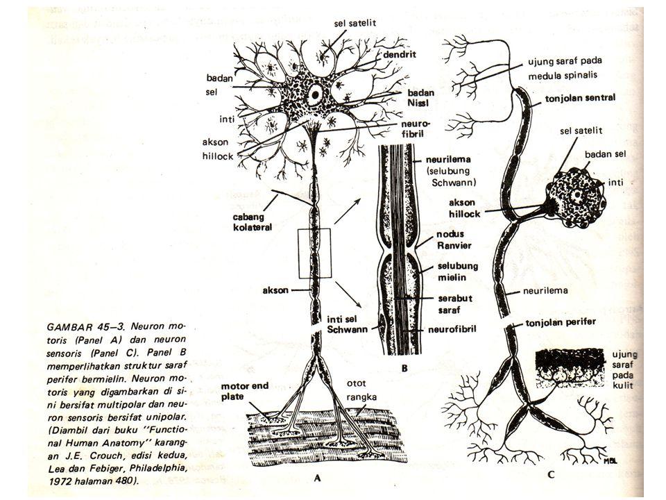 Saraf Sekelompok serabut-serabut sel saraf yang diliputi lapisan penyambung diluar CNS Saraf tdk terdapat di CNS, istilahnya adalah traktus.
