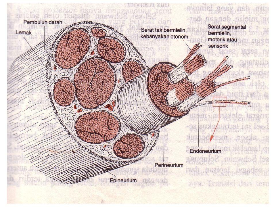 Sistem ventrikel dan cairan serebrospinalis Ventrikel merupakan 4 rongga dalam otak yang saling berhubungan sati dengan yang lain dan mengandung cairan serebrospinal.