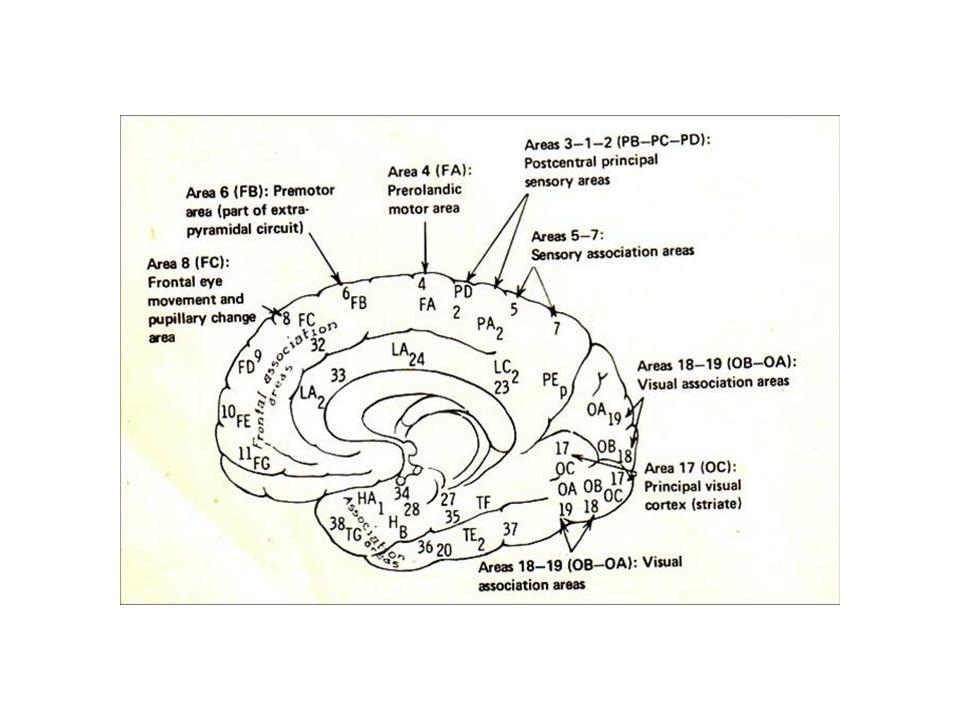 Korteks parietalis Mempunyai peran dalam memproses dan mengintegrasi informasi yang lebih tinggi tingkatnya Daerah somestetik primer (daerah 1 sampai 3) terletak pada girus postsentralis Sensasi semua bagian tubuh diterima dan disadari disini Sensasi umum ini adalah rasa nyeri, suhu, raba, tekan dan proprioseptif Lesi daerah ini akan menggangu sensasi kontralateral