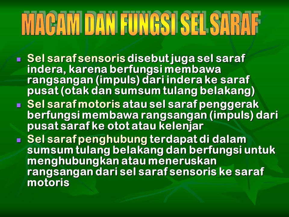 Sel saraf sensoris disebut juga sel saraf indera, karena berfungsi membawa rangsangan (impuls) dari indera ke saraf pusat (otak dan sumsum tulang bela