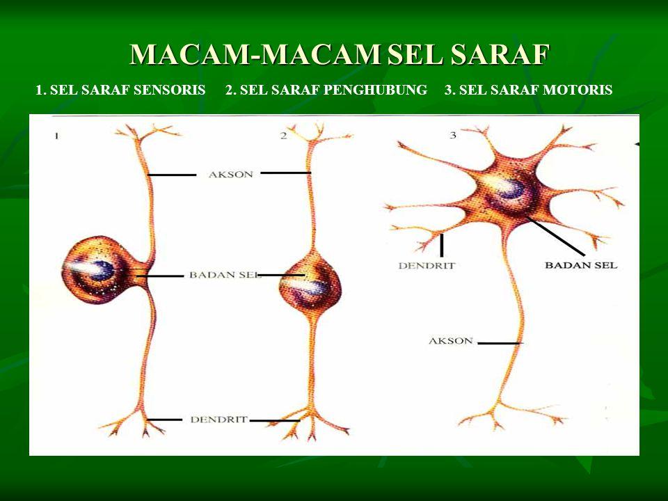 MACAM-MACAM SEL SARAF 1. SEL SARAF SENSORIS 2. SEL SARAF PENGHUBUNG 3. SEL SARAF MOTORIS
